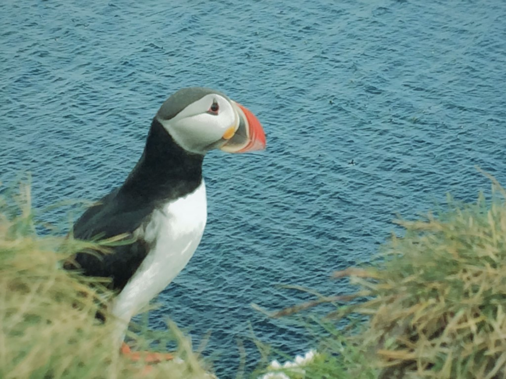In the company of puffins